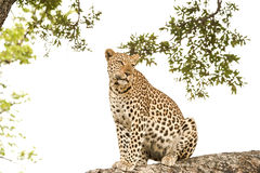 Leopard sitting on tree, Botswana, Africa royalty free stock image