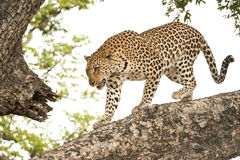 Leopard. Young leopard climbing down a big tree in Botswana