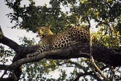 Leopard. Male leopard on the tree Royalty Free Stock Photo
