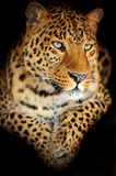 Leopard. Portrait of a leopard in its natural habitat Royalty Free Stock Photography
