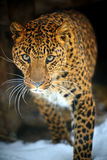 Leopard. Portrait of a Leopard in a zoological park Royalty Free Stock Image