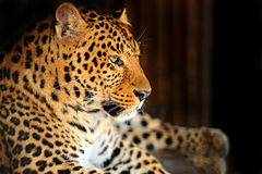 Leopard. Portrait of a Leopard in a zoological park Stock Image