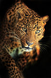 Leopard. Portrait of a Leopard in a zoological park Royalty Free Stock Photo
