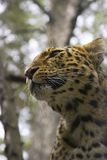 Leopard. Close-up Stock Image