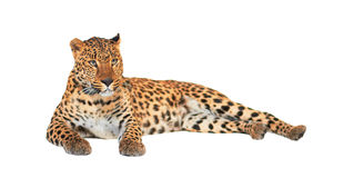 Leopard. Panthera pardus, on white background, studio shot Royalty Free Stock Photo