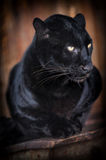 Leopard. Close-up beautiful portrait black leopard Royalty Free Stock Images