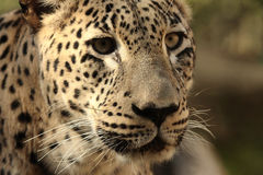 Leopard. Capturen in the Safari in Ramat-Gan Israel Stock Photography