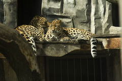 Leopard. Wild leopard resting on a rock Stock Image