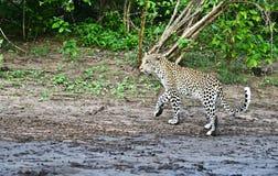 Leopard Stock Photo