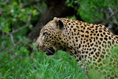 Leopard in South Africa Stock Photography
