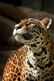 Leopard. Gaze on victims with a fierce Stock Images