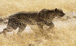 Leopard 1 Royaltyfri Fotografi