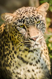 Leopard - Panther - Panthera Pardus Royalty Free Stock Photography