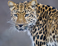 Free Leopard Royalty Free Stock Photos - 3975908