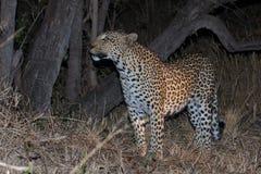 Leopard Stockfotografie