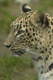 Leopard. A profile of feline beast Leopard Stock Photo