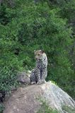 Leopard. Sitting on the rock - South Africa Royalty Free Stock Photography