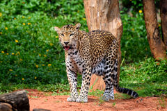 Free Leopard Stock Photography - 45450122