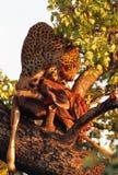 leopard Royaltyfri Bild