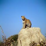 leopard Royaltyfria Foton