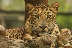 Leopard. Is in looking, the charismatic face and ferocious eye Royalty Free Stock Images