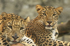 Leopard. S are looking, the charismatic face and ferocious eye Royalty Free Stock Images