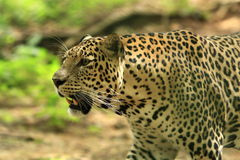 Leopard. Is strolling, the charismatic face and ferocious eye Royalty Free Stock Photo