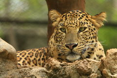 Leopard. Is in looking, the charismatic face and ferocious eye Royalty Free Stock Photo
