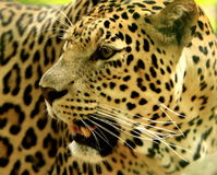 Leopard. The charismatic face and ferocious eye Stock Images