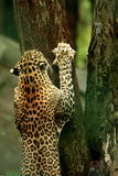 Leopard. Is trying to climb a tree, a great shot Royalty Free Stock Image
