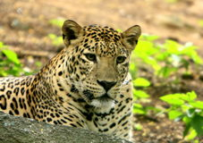 Leopard. The charismatic face and ferocious eye Stock Image