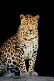 leopard Royaltyfri Fotografi