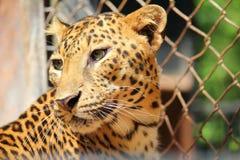 leopard Lizenzfreies Stockbild