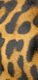 Leopard. Close up of the leopard skin for the background Royalty Free Stock Images