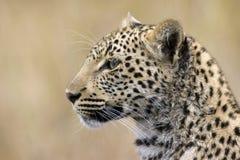 Leopard Stock Images