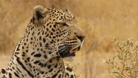 Leopard. Large Male Leopard watching it's prey Royalty Free Stock Images