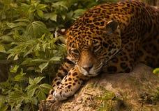 Leopard. Panthera pardus, leopard siesta time Stock Photos