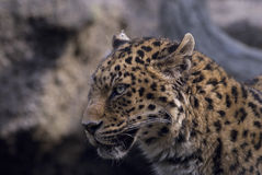 Leopard Stock Photography
