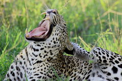 Leopard. Yawning in the grass stock photos