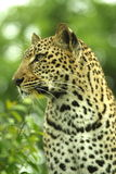 Leopard. Beautiful Leopard in the trees royalty free stock image