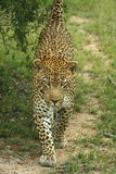 Leopard. Male leopard scent marking on a bush stock photo