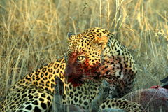 Leopard. Watching over his prey stock image