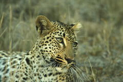 Leopard. Young female leopard resting after hunting royalty free stock photo