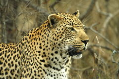 Leopard. Big male leopard standing very still stock photo