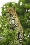 Leopard. Young female leopard on top of a termite mound stock images