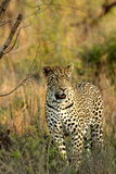 Leopard. Standinf in brown grass royalty free stock image