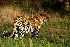 Leopard. Male leopard standing and watching impala stock image
