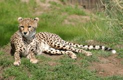 Leopard. A leopard sat on the grass enjoying the sun Royalty Free Stock Images