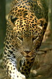 Leopard. Is looking, the charismatic face and ferocious eye Royalty Free Stock Images