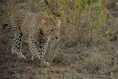 Leopard. A Leopard (Panthera pardus) walking in bush land royalty free stock photos